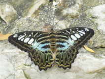 Clipper butterfly ( parthenos sylvia) resting on a wood. Clipper butterfly ( parthenos sylvia) resting on a stone Royalty Free Stock Photos