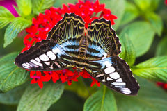 Clipper butterfly. Sitting on a red flower Stock Images