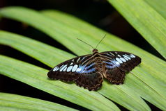The Clipper (Parthenos sylvia). The Clipper butterfly on a leaf Royalty Free Stock Photo