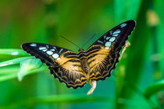 The Clipper species of nymphalid butterfly Parthenos sylvia Stock Images