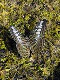 Clipper vlinder open vleugels Royalty-vrije Stock Fotografie