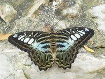 Clipperfjäril (parthenos sylvia) som vilar på ett trä Royaltyfria Foton