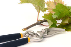 Clippers and vine cutting. Isolated on white background Stock Photos
