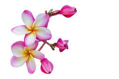 (With clipping path) Isolated beautiful sweet pink flower plumer Stock Photos