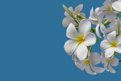 (With clipping path) Isolated beautiful sweet white plumeria Stock Photos