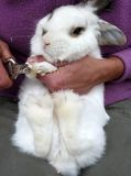 Clipping rabbit nails. Rabbit toenails need to be clipped if they are getting too long and thus making walking difficult for the rabbit Stock Image