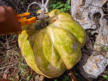 Clipping Stem of Pumpkin By the Rock. Clipping the stem of large ripe pumpkin with blemishes all over with a small clipper garden tool. The pumpkin grow outdoors royalty free stock photo