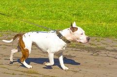 clippinghund för tjur 3d över white för terrier för banaframförandeskugga Royaltyfri Foto