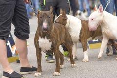 clippinghund för tjur 3d över white för terrier för banaframförandeskugga Royaltyfri Fotografi