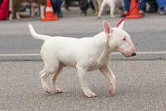 clippinghund för tjur 3d över white för terrier för banaframförandeskugga Arkivfoto