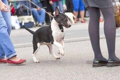 clippinghund för tjur 3d över white för terrier för banaframförandeskugga Arkivbilder