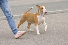 clippinghund för tjur 3d över white för terrier för banaframförandeskugga Royaltyfria Bilder