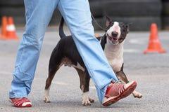 clippinghund för tjur 3d över white för terrier för banaframförandeskugga Royaltyfri Bild