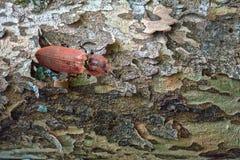 Clique-besouro imagem de stock
