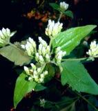 Clique da flor Imagens de Stock Royalty Free