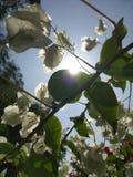 Cliquez sur du soleil derrière la fleur blanche image libre de droits