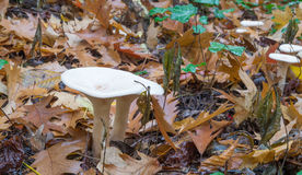 Clitocybe geotropa mushrooms. Growing on the forest floor Stock Photo