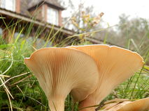 Clitocybe gibba gills. Close up of the underside of a Clitocybe gibba mushroom, also known as the Common Funnel, showing the gills radiating from the stem Stock Photos