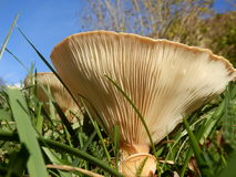 Clitocybe gibba gills. Close up of the underside of a Clitocybe gibba mushroom, also known as the Common Funnel, showing the gills radiating from the stem Royalty Free Stock Photography