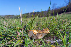 Clitocybe mushroom Stock Photography