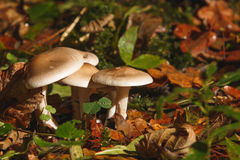 Clitocybe nebularis at the forest. Stock Photo
