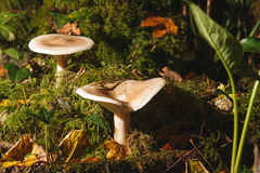 Clitocybe nebularis at the forest. Two Clitocybe nebularis in the forest Royalty Free Stock Photos