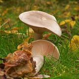 Clitocybe nebularis mushroom. Also known as the cloud agaric and cloud funnel Stock Image