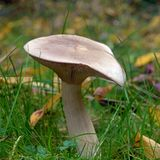 Clitocybe nebularis mushroom. Also known as the cloud agaric and cloud funnel Royalty Free Stock Photo