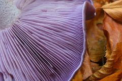 Clitocybe nuda mushroom. Closeup of the gills Stock Photo