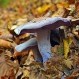 Clitocybe nuda mushroom. Lepista nuda mushrooms in the forest Stock Photo