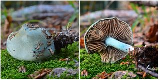 Clitocybe odora mushroom. Known as the aniseed funnel toadstool Stock Images