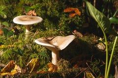 Clitocybenebularis bij het bos Royalty-vrije Stock Foto's