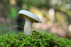 Clitopilus-prunulus Lizenzfreie Stockfotografie