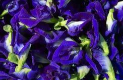 Clitoria ternatea或新蝴蝶豌豆花背景 库存照片