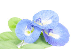 Clitoria ternatea or Aparajita flowers Royalty Free Stock Image