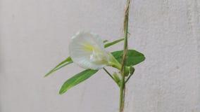 Clitoria ternatea Blume Stockfoto
