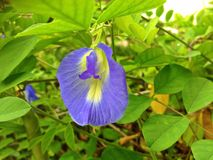 Clitoria ternatea flower Royalty Free Stock Photos