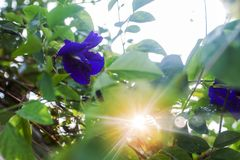 Clitoria ternatea Linn in sunlight on green leaves as background. Royalty Free Stock Photos