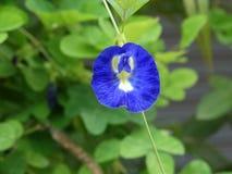 Clitoria ternatea o fiore del pisello di farfalla Fotografia Stock Libera da Diritti