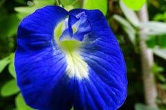 Clitoria ternatea oder Schmetterlingserbsenblume lizenzfreie stockbilder