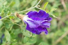 Clitoria ternatea, pisello blu, o pisello di farfalla nel modo del fuoco selettivo Immagine Stock Libera da Diritti