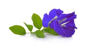 Clitoriaternatea eller Aparajita blomma som isoleras på vit bakgrund fotografering för bildbyråer