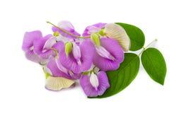 Clitoriaternatea eller Aparajita blomma som isoleras på vit bakgrund royaltyfri bild