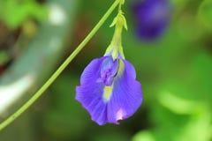 Clitoriaternatea ook als de Vlinder Pea Flower wordt bekend, voor voedselkleuring die wordt gebruikt stock afbeelding