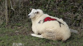 Clive the love sheep celebrating valentines day with a love heart on his back stock video footage