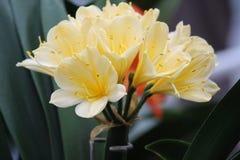 Clivia κίτρινο Στοκ Εικόνες