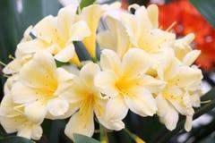 Clivia κίτρινο Στοκ φωτογραφία με δικαίωμα ελεύθερης χρήσης