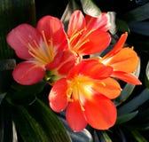 Clivia цветет подробно Стоковая Фотография RF