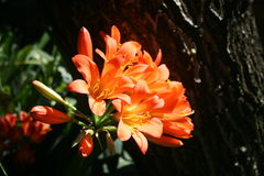 Clivia цветя с солнечным светом позднего вечера стоковая фотография