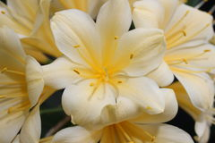 Clivia黄色 库存图片
